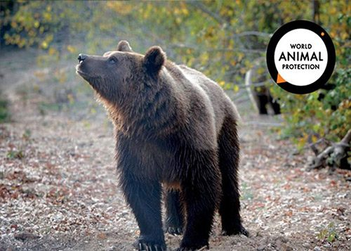 Animal Protection Society Bear